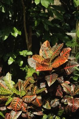 How to Care for a Croton Petra | Home Guides | SF Gate