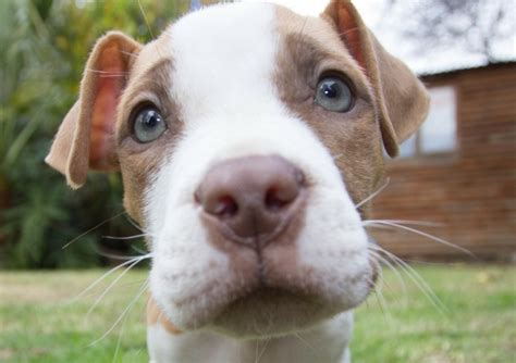 Top 5 Misconceptions About Pit Bulls - DogVills