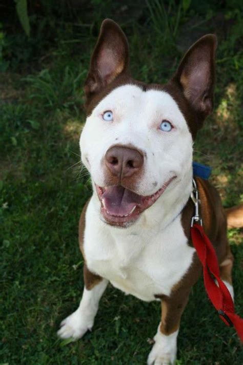 17 Insane Pit Bull Mixes You Need To See Right Now