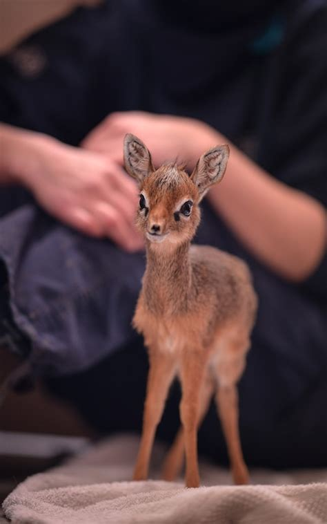 Adorable orphaned dik-dik has to be bottled-fed by staff